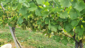 CRNKO-Chardonnay-Harvest-09172020-1000