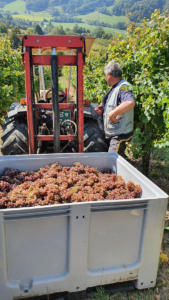 CRNKO-Traminec-Harvest-1-700-09172020
