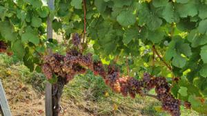 CRNKO-Traminec-Harvest-2-1000-09172020