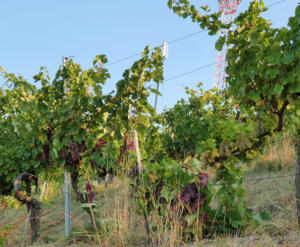 crnko-harvest-3