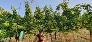 crnko-harvest-4