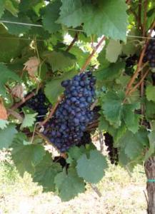 Vinakoper-winemaker-pic3-sept-2015-270